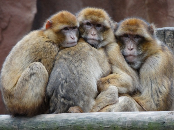 Monkeys_1920